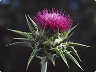 Sylibum marianum