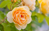 damaszener rose heilpflanze 2013. Black Bedroom Furniture Sets. Home Design Ideas